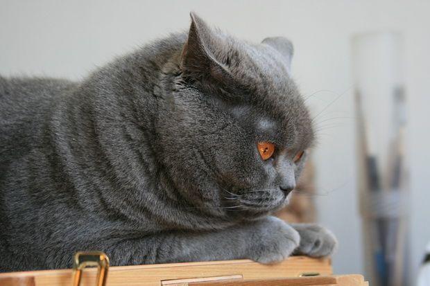 Видалення кігтів у кішок, або операція «м`які лапки»