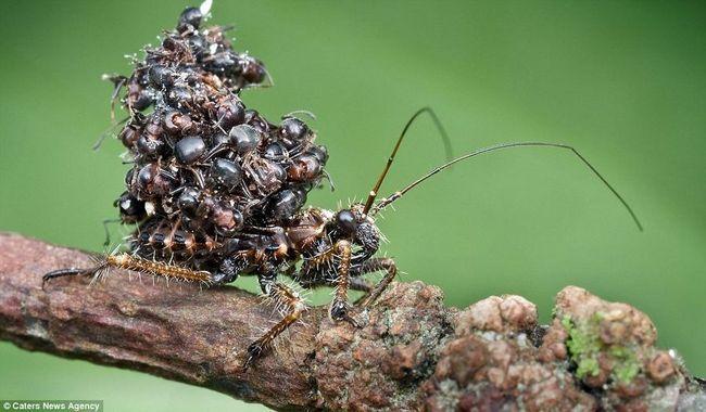 Дивовижна стратегія маскування жука-вбивці
