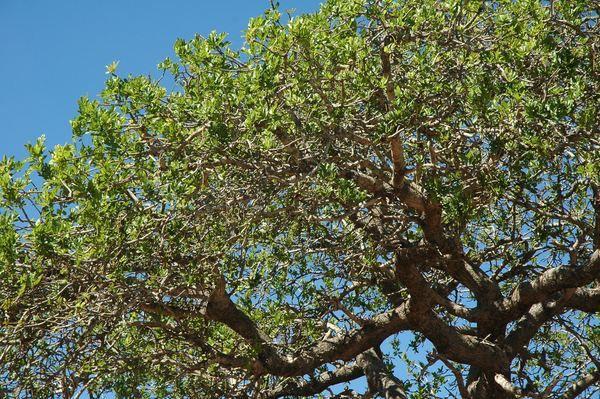 Дивовижне дерево марула (лат. Sclerocarya birrea)