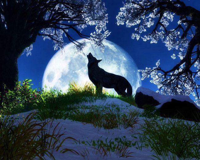 Загадковий світ вовків.