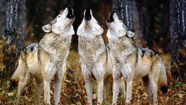 Вовки - розумні, витривалі хижаки.