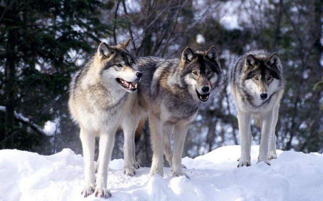 Вовки полюють зграями.