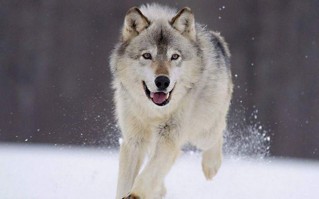 У вовків відмінний нюх і здатність блискавично реагувати на видобуток.