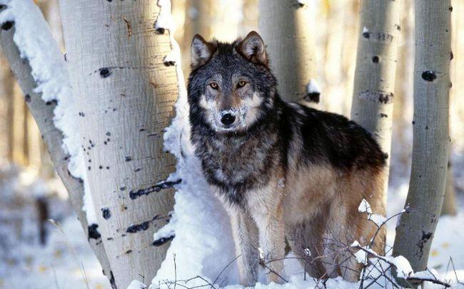 Вовки ретельно охороняють свою територію.