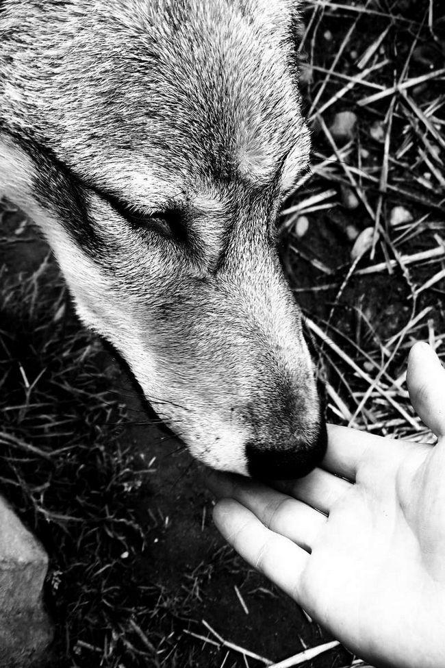 Дружба вовка і людини: кажуть, що це не можливо, однак, винятки все ж трапляються.