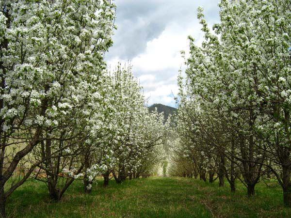 Добриво фруктового саду. Підживлення плодових дерев