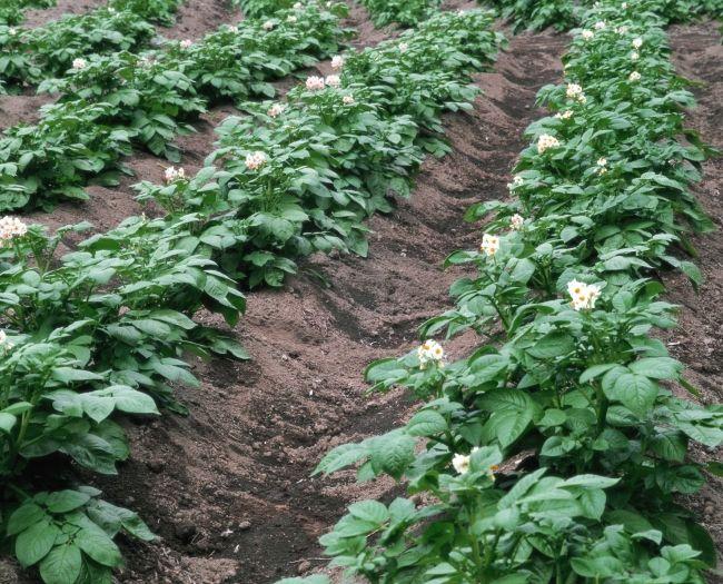 підживлення картоплі