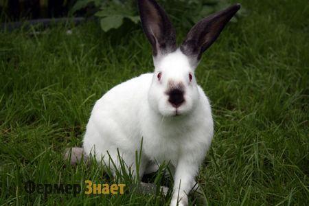 Каліфорнійський кролик