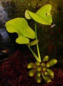 Догляд за акваріумними рослинами