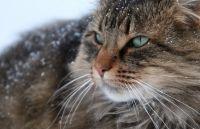Норвезька лісова кішка догляд