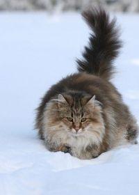 догляд за шерстю норвезької кішки