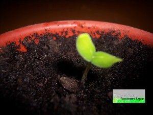 Догляд за розсадою огірків