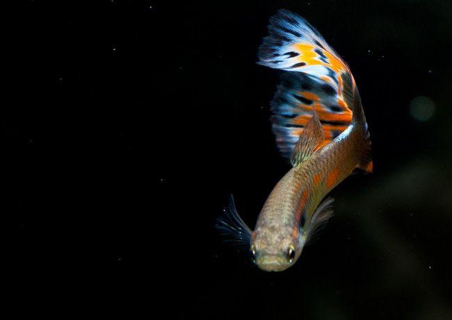 Рибка з красивим забарвленням.