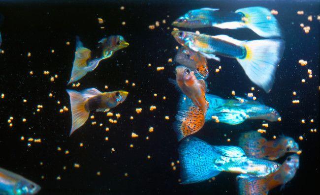 Зграйка гуппі в акваріумі.