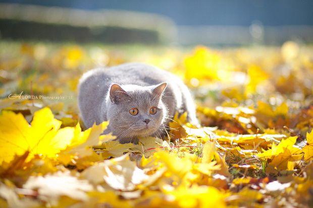 Догляд за шерстю британських кішок