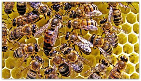 Українська степова бджола