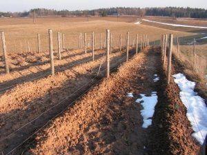 Виноград укритий землею