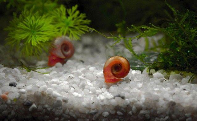 Червона рогова котушка прекрасно живе в акваріумі