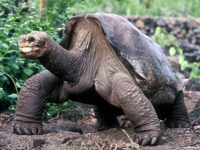 Померла остання Абінгдонская слонова черепаха