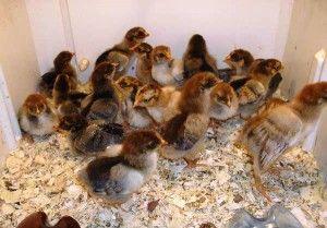 Вирощування курчат Кучинской породи