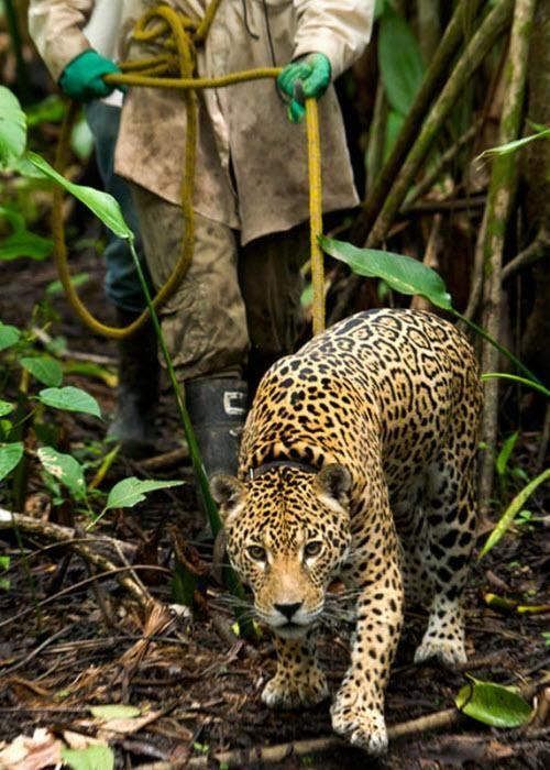 У глибині джунглів Болівії службовець організації по збереженню диких тварин йде по лісі з диким ягуаром.