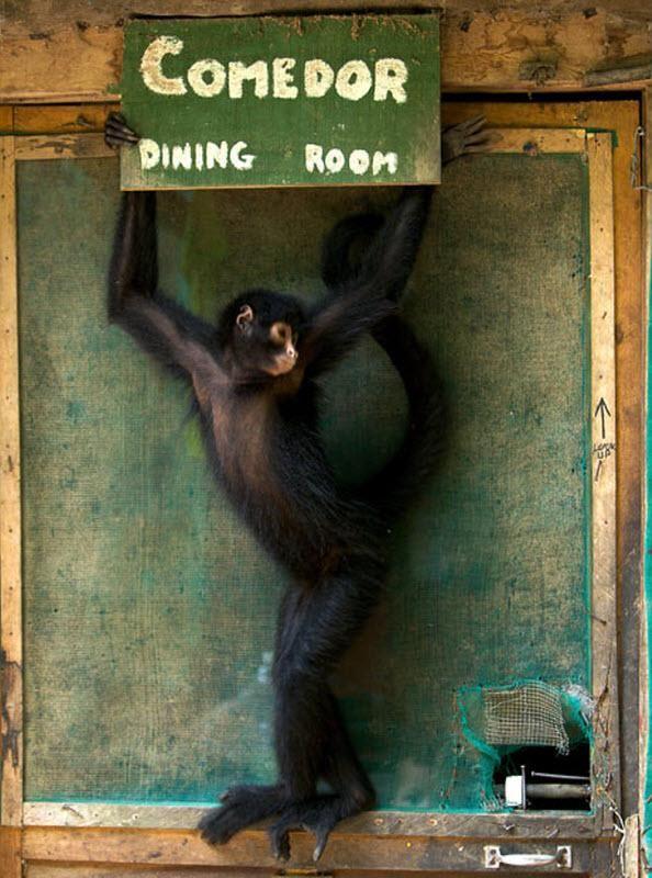 Павукоподібна мавпа Мороча тримає табличку біля дверей до їдальні.