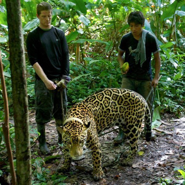 Письменник Тайер Уокер і Джайме, виховував Ягуарупі з дитинства, гуляють з ягуаром.