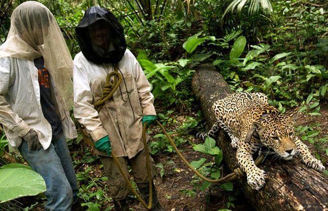 Британський доброволець Керолайн Алмонд і Педро - ветеринар з Чилі - вивели на прогулянку ягуара Кеті.