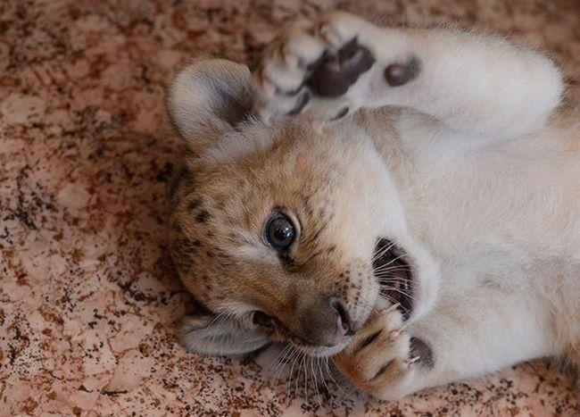 Унікальний кошеня лілігр живе в новосибірському зоопарку