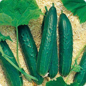 Сорт «Орися» підходити як для відкритого грунту, так і для теплиці