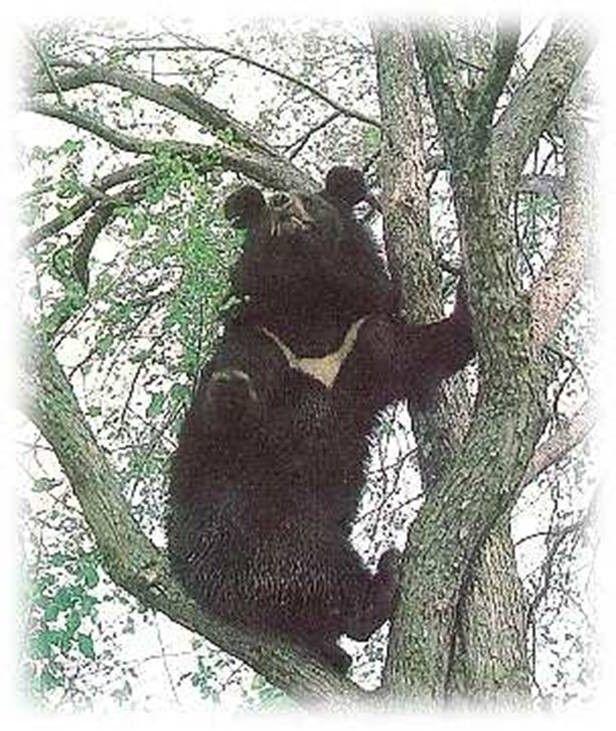 Уссурійський ведмідь чудово лазить по джеревьям