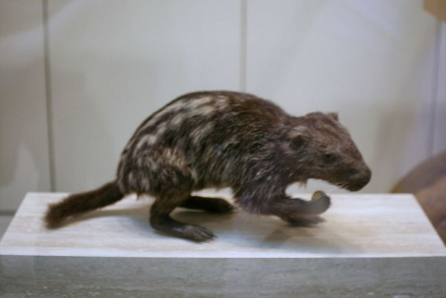 Жахлива миша або пакаран (dinomys)