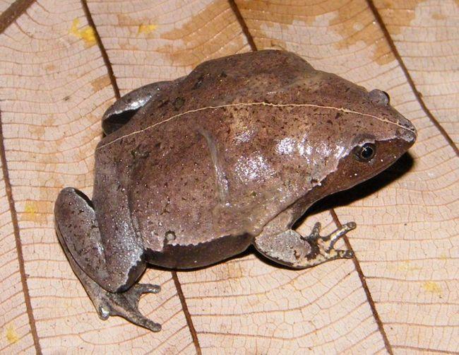 Узкоротие жаби активні переважно в сутінки. Значний час проводять в притулках