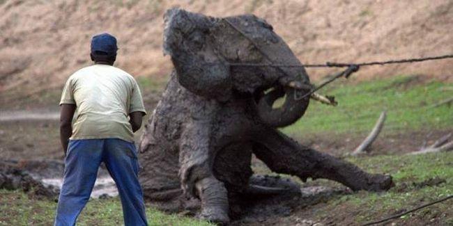 Порятунок слона з грязьовий калюжі.