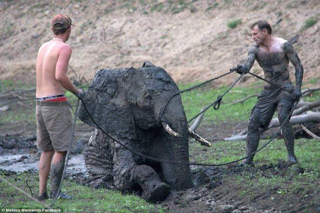 Гіди рятують слона.
