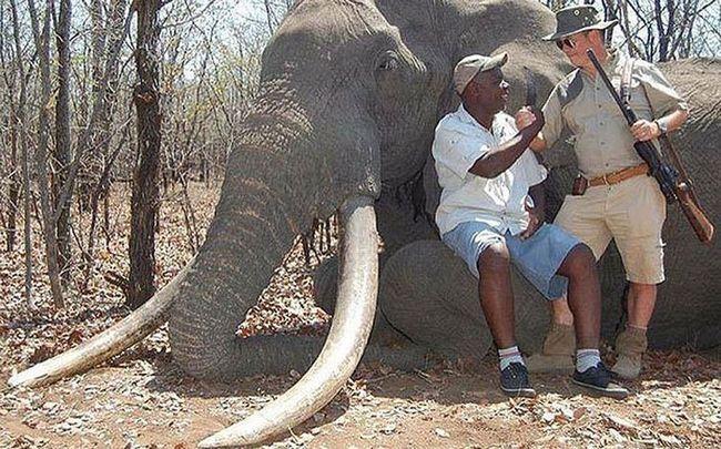 В африці убитий найбільший за 30 років слон