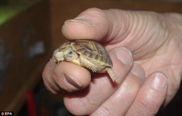 самець Єгипетської черепахи