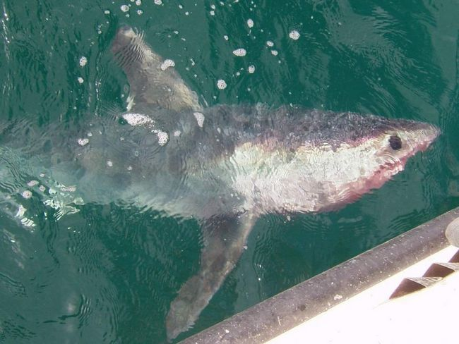 Оселедцева акула біля берегів Аргентини.
