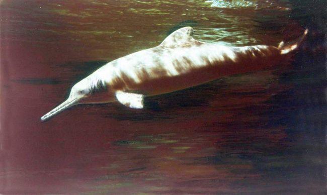 В Аргентині зафіксована масова загибель рідкісних дельфінів.