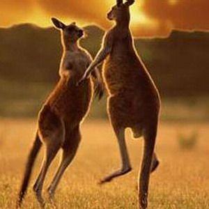 У австралії кенгуру напав на людину