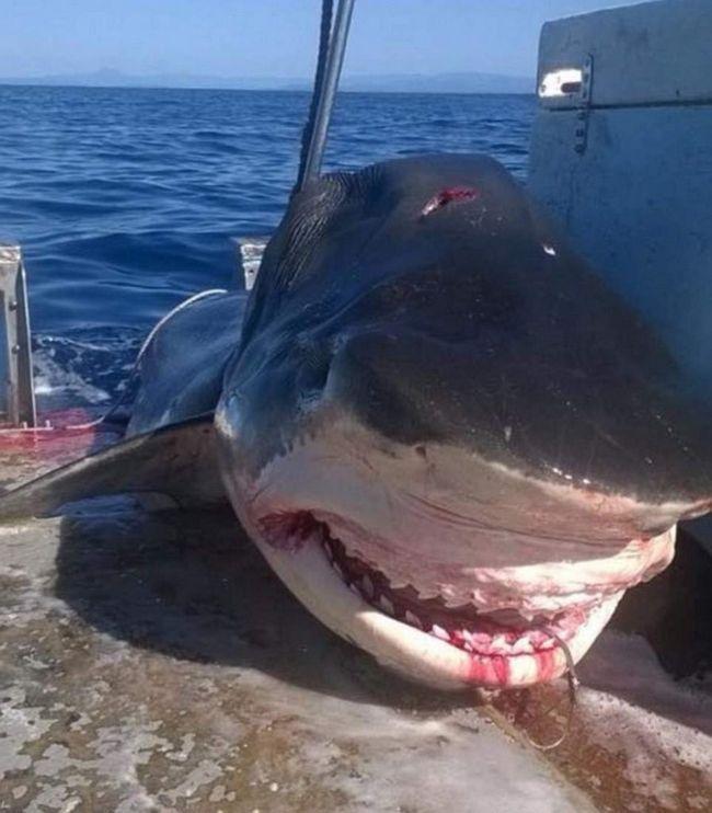 Шестиметрову акулу виловили недалеко від Австралії.