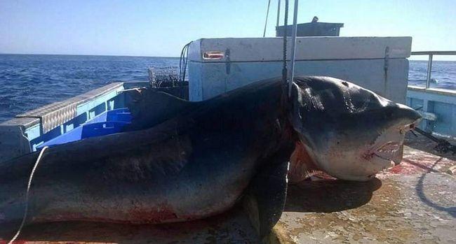 Тигрова акула на судні.