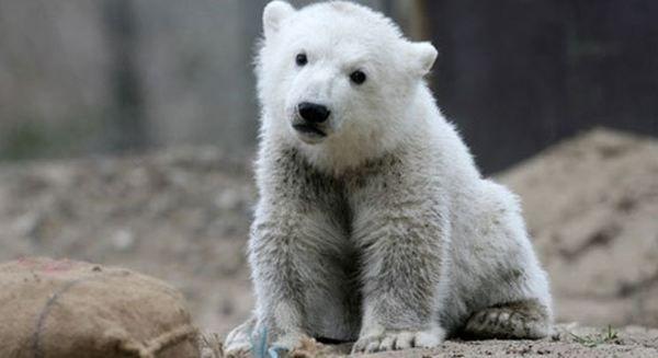 У берлінському зоопарку помер знаменитий ведмідь Кнут