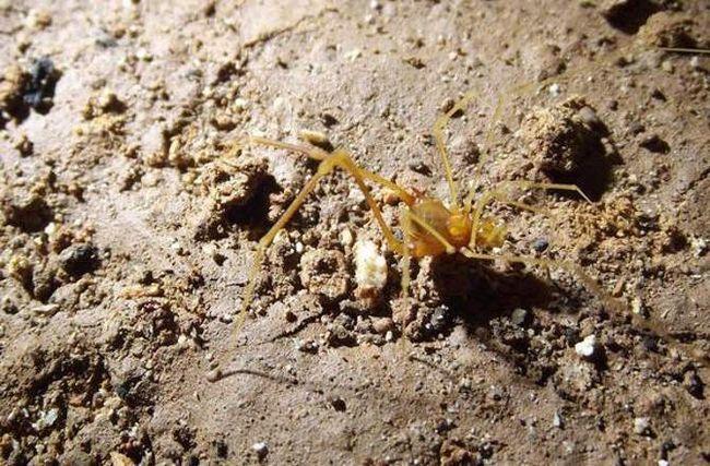 У Бразилії знайшли новий вид павуків.