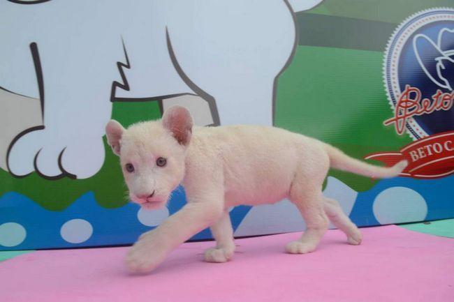 Малюк Клару - зірка бразильського зоопарку.
