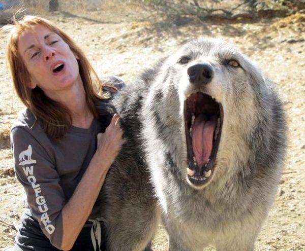 У центрі порятунку волкособи на Алясці