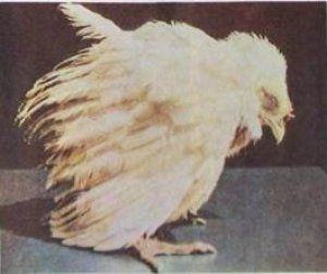 Кокцидіоз - одна з причин смерті курчат