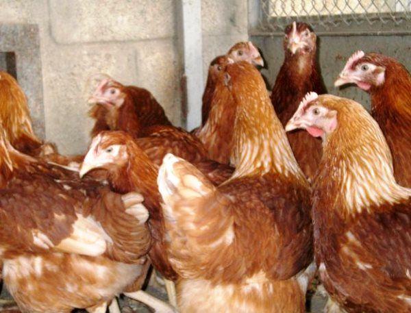 Яєчна порода курей Родонит