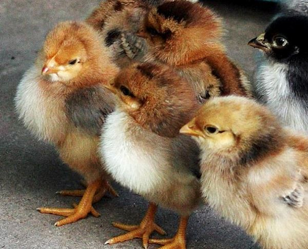 Курчата породи курей Родонит