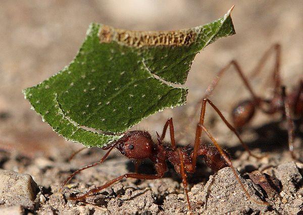 Техаський мураха-листоріз Atta texana несе шматочок листа в мурашник.